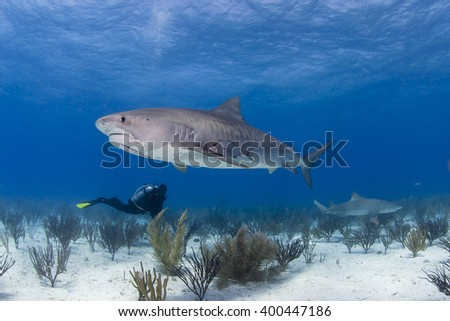 Tiger shark from the side in clear blue water with scuba diver in the background. - stock photo