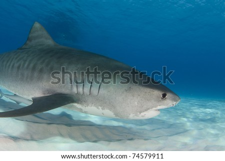 Tiger Shark (Galeocerdo cuvier) swims through the water in the Bahamas. - stock photo