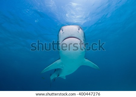 Tiger shark head-on from below close to the surface in clear blue water and the sun in the background. - stock photo