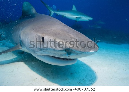 Tiger shark head shot in clear blue water with caribbean reef shark in the background. - stock photo