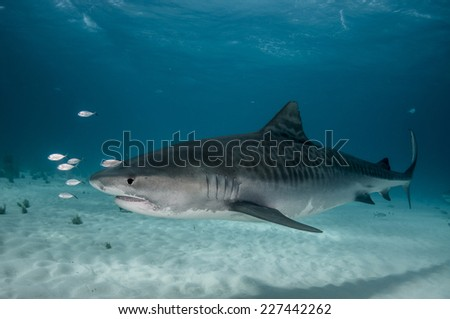Tiger Shark Portrait - stock photo