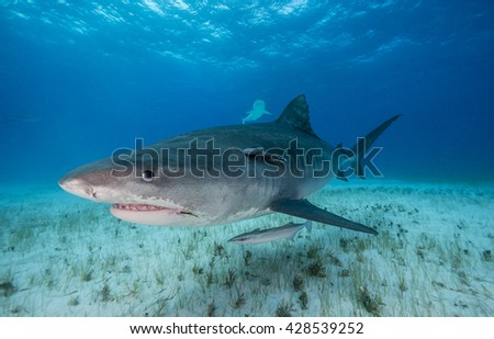 Tiger shark swimming in shallow water during a shark dive in the Bahamas.  - stock photo