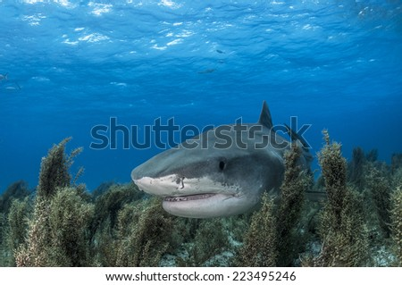 Tiger Shark Swimming Through Sea Grass - stock photo