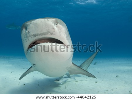 Tiger Shark swims by at Tiger Beach in the Bahamas.