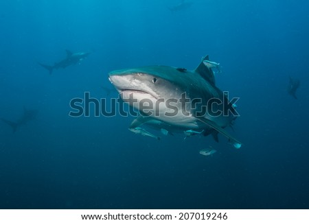 Tiger Shark with blacktip sharks  - stock photo
