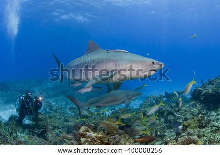 Tiger shark with caribbean reef shark in clear blue water with scuba diver / videographer / photographer in the background. - stock photo