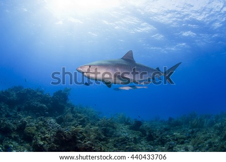Tiger Shark with Remora in clear blue water with sun in the background. - stock photo