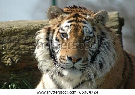 Tiger sitting down - stock photo