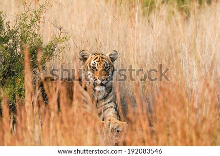 Tiger sitting in the grass - stock photo