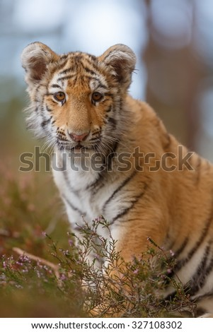 tiger sitting portrait - stock photo