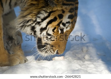 tiger smell something on ground - stock photo