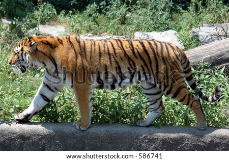 tiger stalking.Buffalo zoo,Buffalo,New York - stock photo