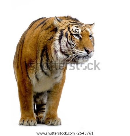 Tiger standing up in front of a white background. All my pictures are taken in a photo studio