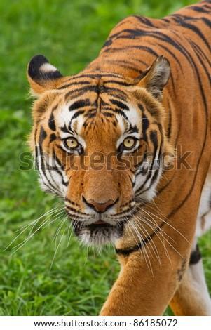 tiger staring gaze - stock photo