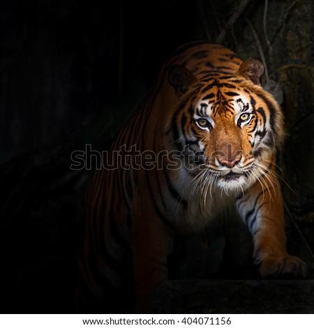 Tiger starting attack.  - stock photo