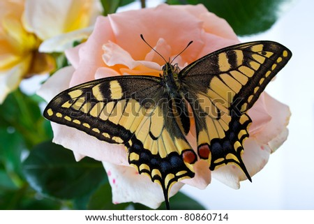 Tiger Swallowtail (Papilio Glaucus) Butterfly on A Cone-flower - stock photo
