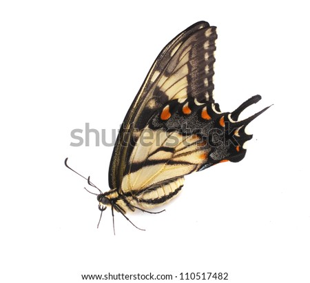 Tiger Swallowtail (Papilio glaucus) from North America, female specimen sitting on a white surface - stock photo