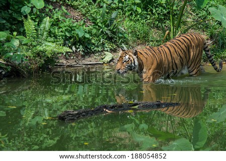 Tiger Swimming in the zoo - stock photo