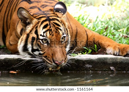 Tiger taking a refreshing drink from a river moat to cool off