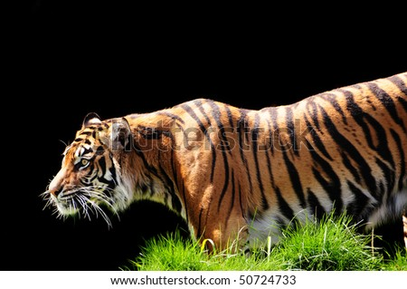 Tiger tracking and approaching its prey with stealth - stock photo