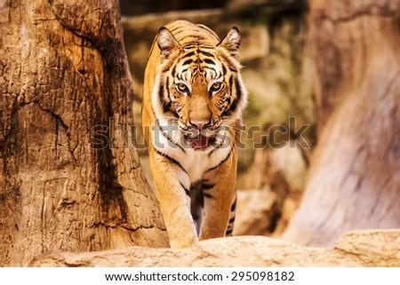 Tiger Walking - stock photo