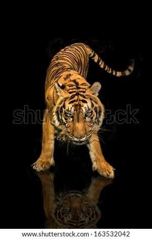 tiger walking black background - stock photo