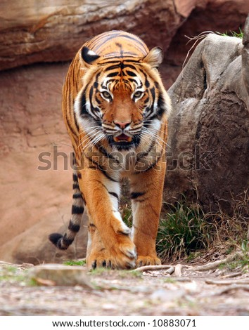 Tiger walking forward - stock photo