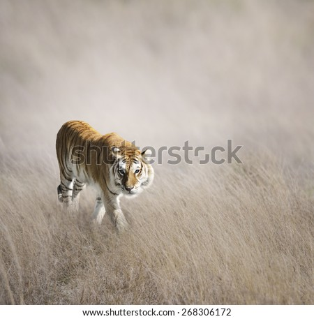 Tiger Walking In The Grass - stock photo