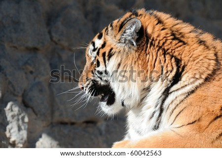 Tiger with bared fangs