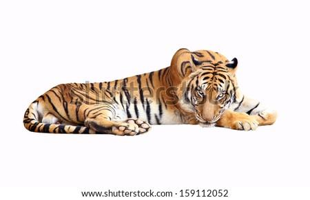 Tiger with clipping path