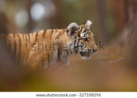 tiger with nice background - stock photo