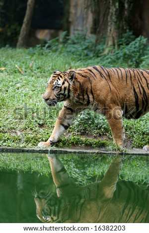 Tiger with reflection