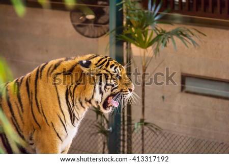 tiger yawning - stock photo