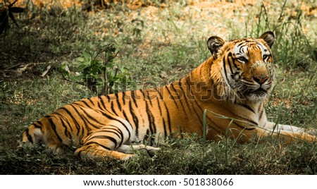 Tigers are one of the most beautiful animals on planet earth. They have been evoked in literature, proverbs and plays for their majestic strength and beauty.
