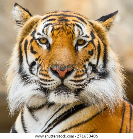 Tigers face staring wildly. - stock photo