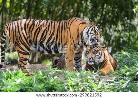 Tigers in forest - stock photo