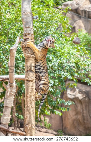 Tigers play and skills by climbing. - stock photo