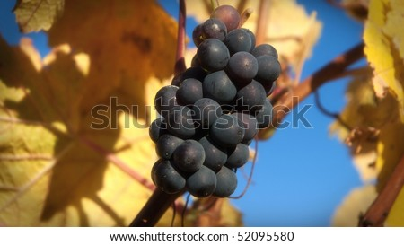 Tight shot in sunny autumn weather showing a single bunch of Pinot Noir grapes from Cloudy Bay winery in Marlborough, New Zealand. - stock photo
