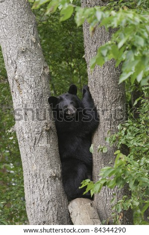 Tight Squeeze.  Young adult black bear (Ursus Amricanus) is wedged snugly between two trees. - stock photo