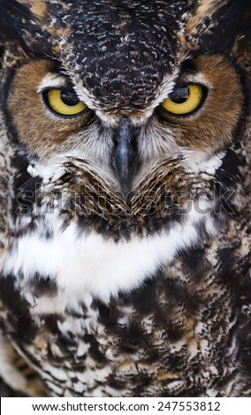 tightly framed close up portrait of a great horned owl with room for text