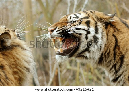 Tigress fiercely growling at the tiger. - stock photo