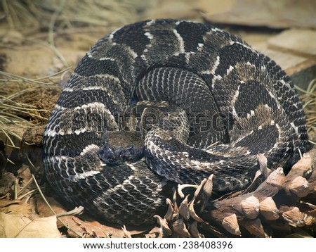 Timber Rattlesnake, Crotalus Horridus Horridus - stock photo