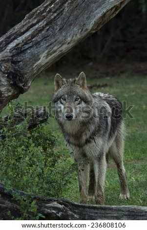 Timber Wolf also known as a Gray or Grey Wolf - stock photo