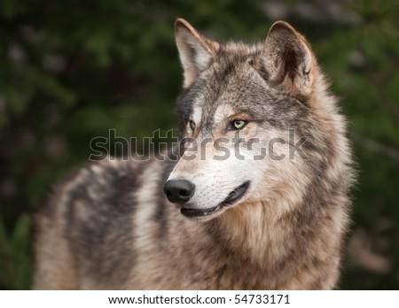 Timber Wolf (Canis lupus) Looks Left - captive animal - stock photo