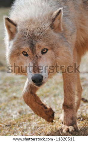 Timber Wolf (Canis lupus) Stalks towards Viewer - captive animal