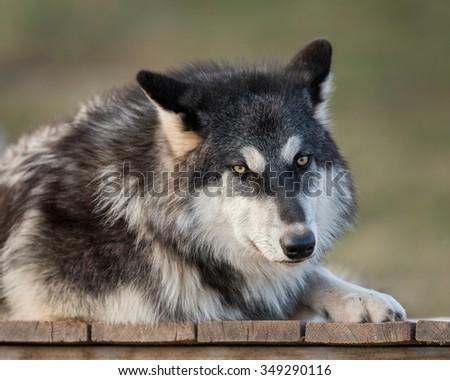 Timber wolf (Canus lupis) portrait - stock photo