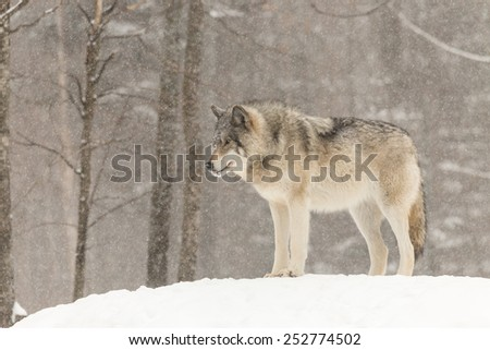 Timber wolf in a winter scene