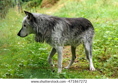 Timber Wolf in Canadian forest, British Columbia ( canis lupus)
