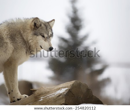 Timber wolf or gray wolf stands atop a fallen log surveying below.  Snowy scene with shallow depth of field creating some bokeh in the image. - stock photo