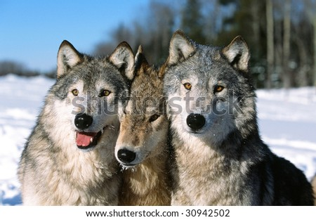 Timber wolf pack portrait - stock photo